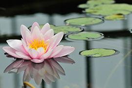 Лотос, Lotus
